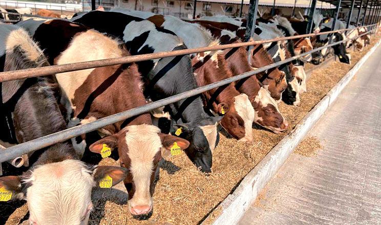 ТОП-3 корів-рекордисток з найвищою життєвою продуктивністю