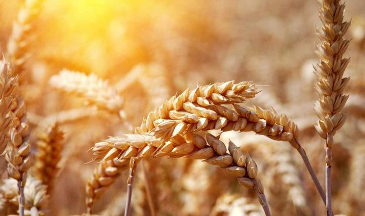 В 2021 році очікується абсолютний рекорд врожай пшениці