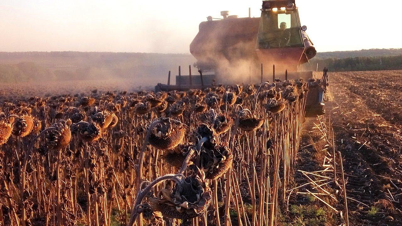 Новини з полів: в Ristone Holdings  почалося збирання соняшнику та посів озимої пшениці