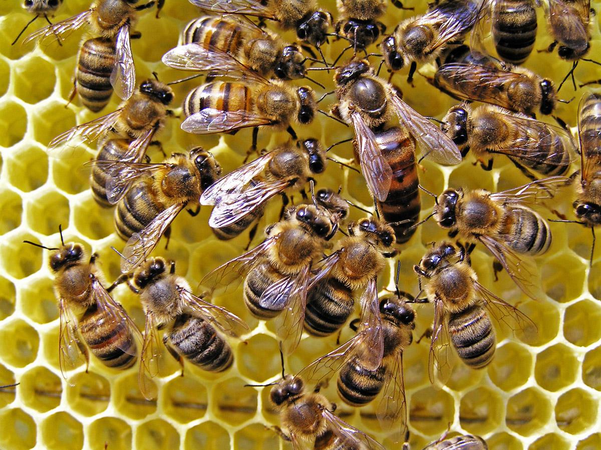 Україна оновлює законодавство у галузі бджолярства