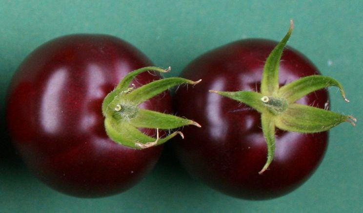 Вчені вивели фіолетові томати з пігментом буряка