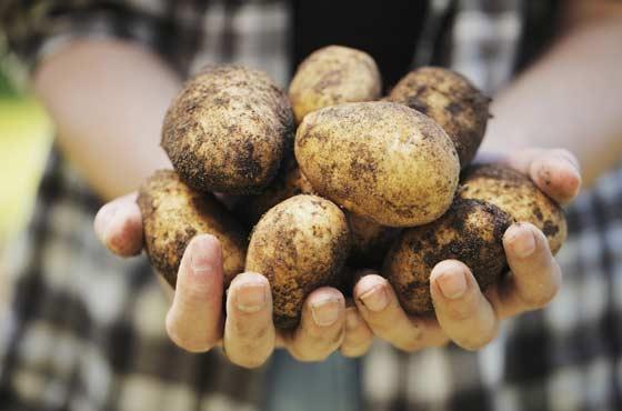 Новини з полів: в Ristone Holdings закінчили збирання картоплі