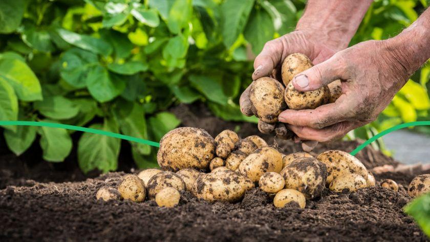 На Волині запровадили карантин через рак картоплі